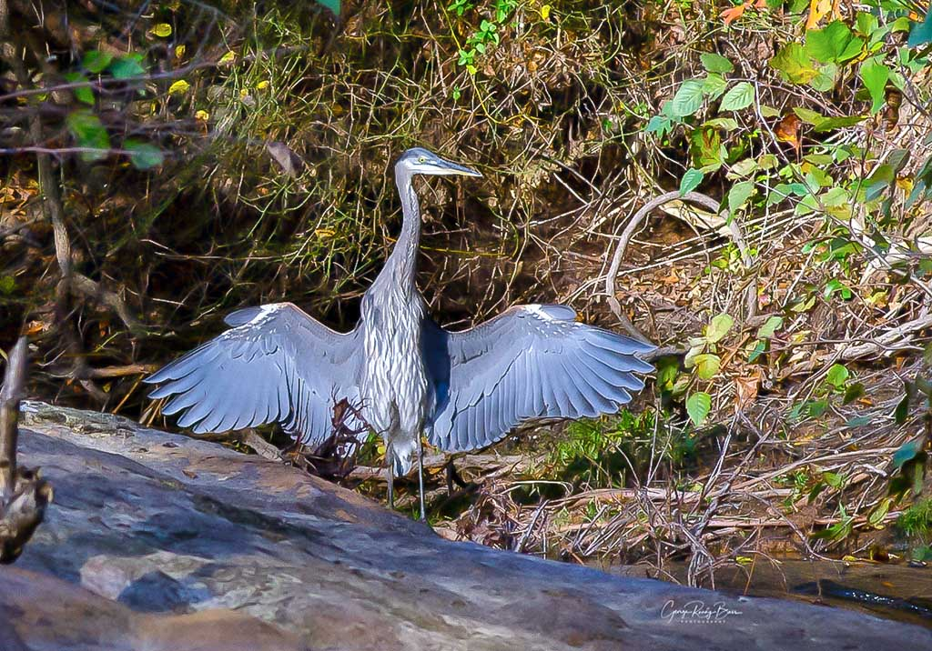 Neuse River Great Blue Heron wings wide open